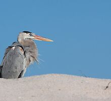 Great Blue Heron by tara-leigh