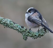 Long Tailed Tit by barnowlcentre