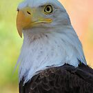 Bald Eagle by Linda Eshom