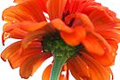 Beautiful Orange Zinnia by T.J. Martin