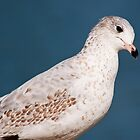 Ring-billed Gull juvenile by Gerry Danen