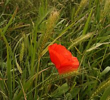 Lost Poppy by Paul Bettison