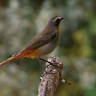 "Dont fly to high... ""Cape Robin"" Bloemfontein, Free State, South Africa by Mauds"