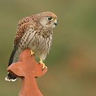 Kestrel (Female)  by barnowlcentre