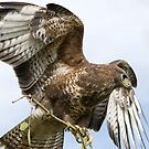 Buzzard by Matthew Walters