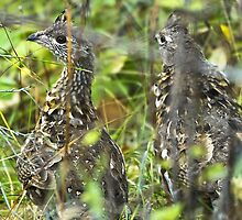 A pair of young ruffed grouse by amontanaview