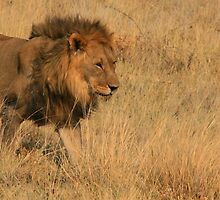 Lion - Etosha National Park by Anita Welsh