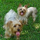 Two Yorkies by kpitre
