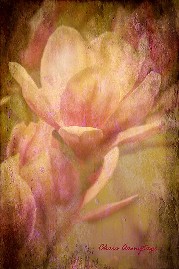 Magnolias 2 by Chris Armytage™