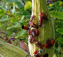 Milkweed bugs - party time! by Marcia Rubin