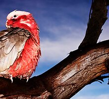 """Birds-eye View""-Galah on Eucalypt Limb by Ohlordi"