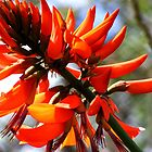 Coral Tree Flower by WeblightStudio