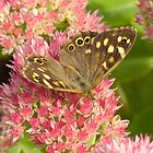 Speckled Wood Butterfly. Parage Aegeria by Tony4562