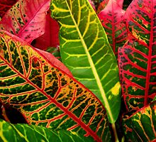 Beautiful Leaves on the Sunshine Coast, Australia by ange2