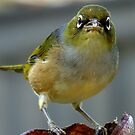This is what I think of you! - Silvereye - NZ - Southland by AndreaEL