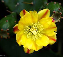 Cactus flower by Sérgio Grilo