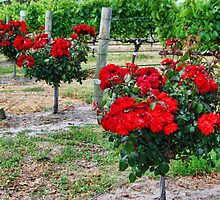 Winery roses, Margaret River WA by Jeddaphoto