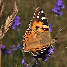 Painted lady by relayer51