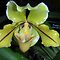 yellow paphiopedilium orchid by CreateArt9