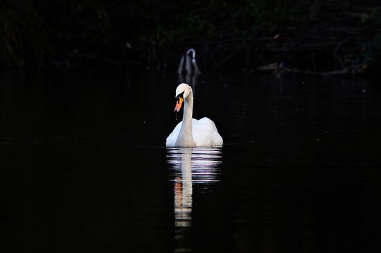 Swan on the lake by MungoPL