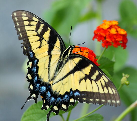 Butterfly Blue and yellow! by vasu