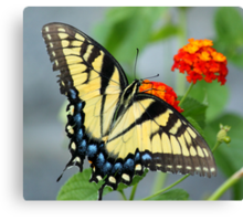 Butterfly Blue and yellow! Canvas Print