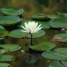 Lotus & Frog! by vasu
