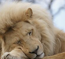 Off guard - 'white' lion dozing by jentiller