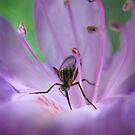 Natty gnat by Mandy Disher