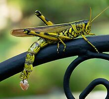 Obscure Bird Grasshopper with Egg Pods by Penny Odom