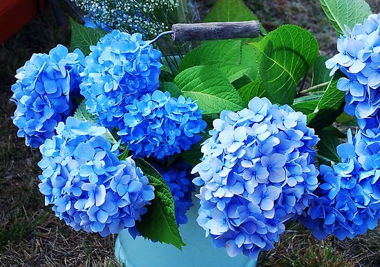 Wedding Hydrangeas by Marjorie Wallace