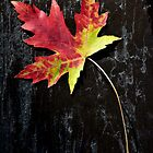 Maple Leaf by lamiel