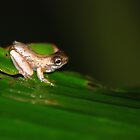 Froglet - Costa Rica by Jason Weigner