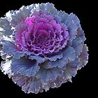 Ornamental Cabbage © by jansnow