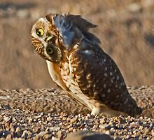 092610 Burrowing Owl by Marvin Collins