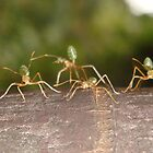 Mr Green Ant, Palm Cove, Far North Queensland, Australia by kimathy