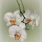 Orchids by Mandy Disher