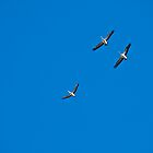 pelicans in flight by paul erwin