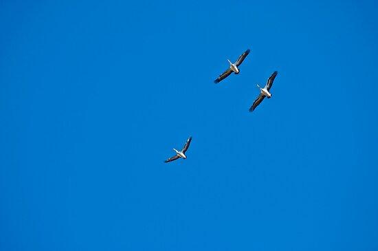pelicans in flight by paul erwin