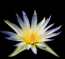 water lily on black by paul erwin