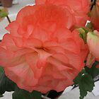Salmon Pink Carnation Flower by PoetCRS