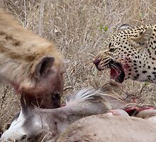 Hyena and Leopard Sharing Meal by Michael  Moss