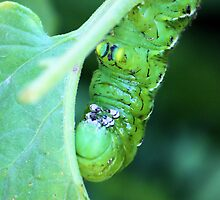 Hungry Hungry...Tomato Worm by Carrie Bonham