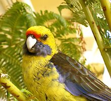 Rosy the Rosella by Penny Smith