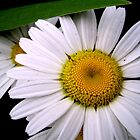 Garden Pleasures - Daisies / Madeliefies by Mariaan Maritz Krog Photos & Digital Art