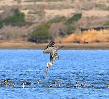 Brown Pelican Diving by animals