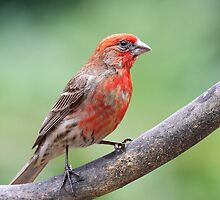 House Finch by animals