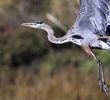 Flight of the Great Blue Heron by animals