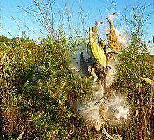 Milkweed Wonder in Muskoka by ClaireBull