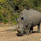 White Rhino Grazing 2 by Aldi221